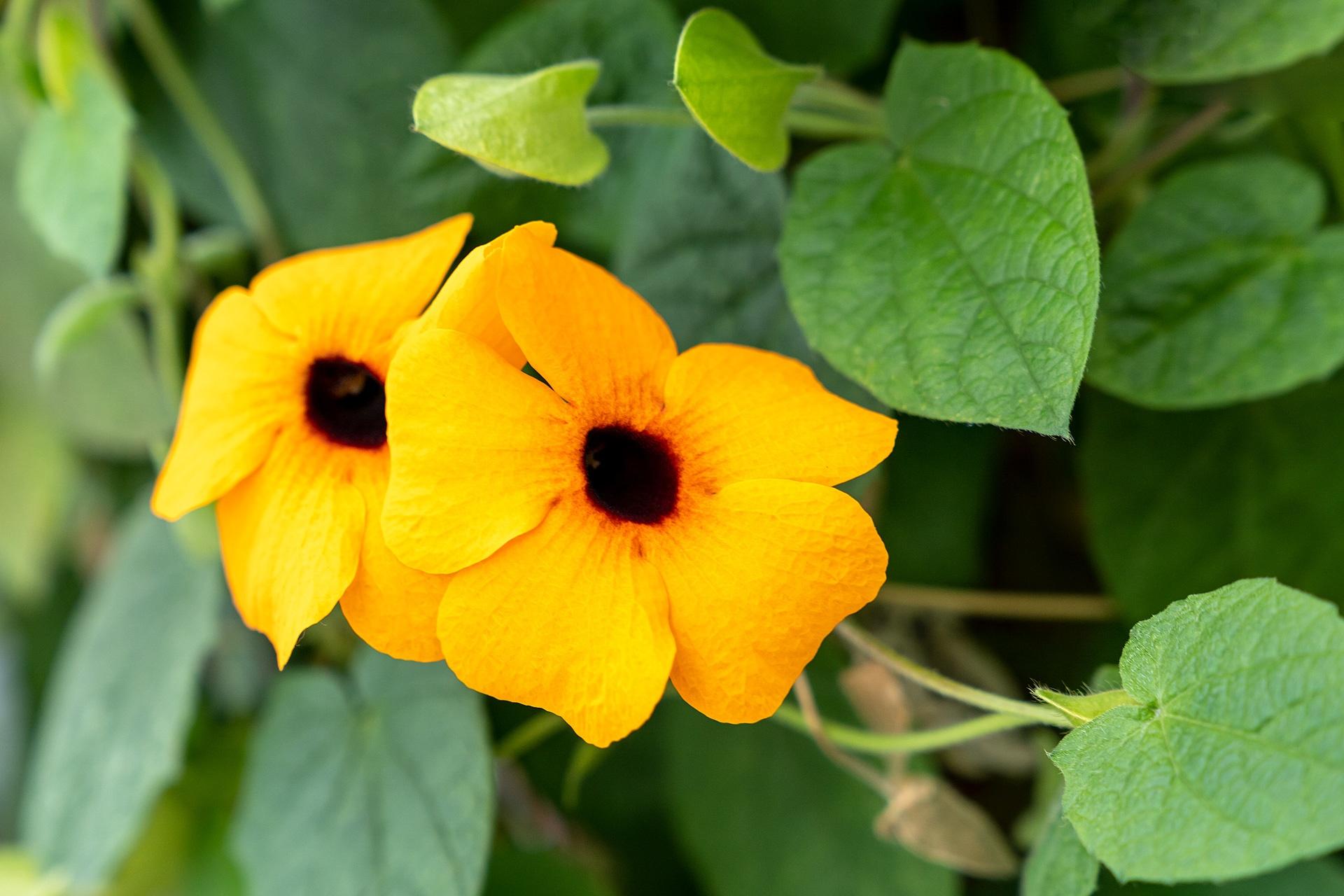 Pflanzen von hier: Susanne