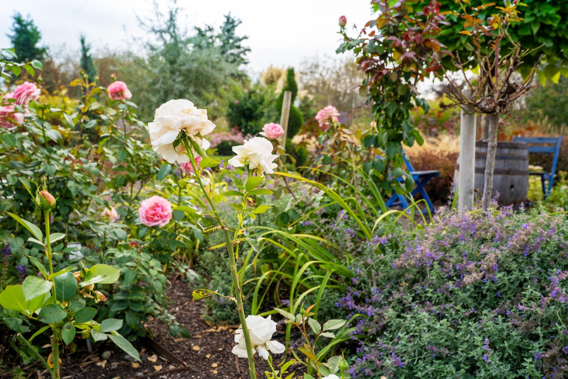 Rosen im Schaugarten