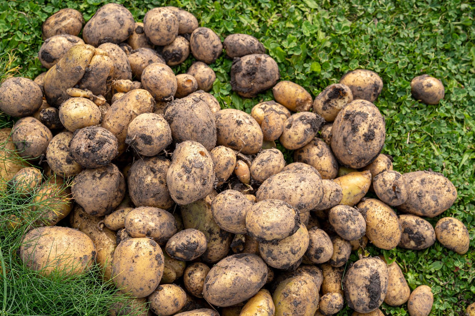 Kartoffel Ernte in Hüttenheim