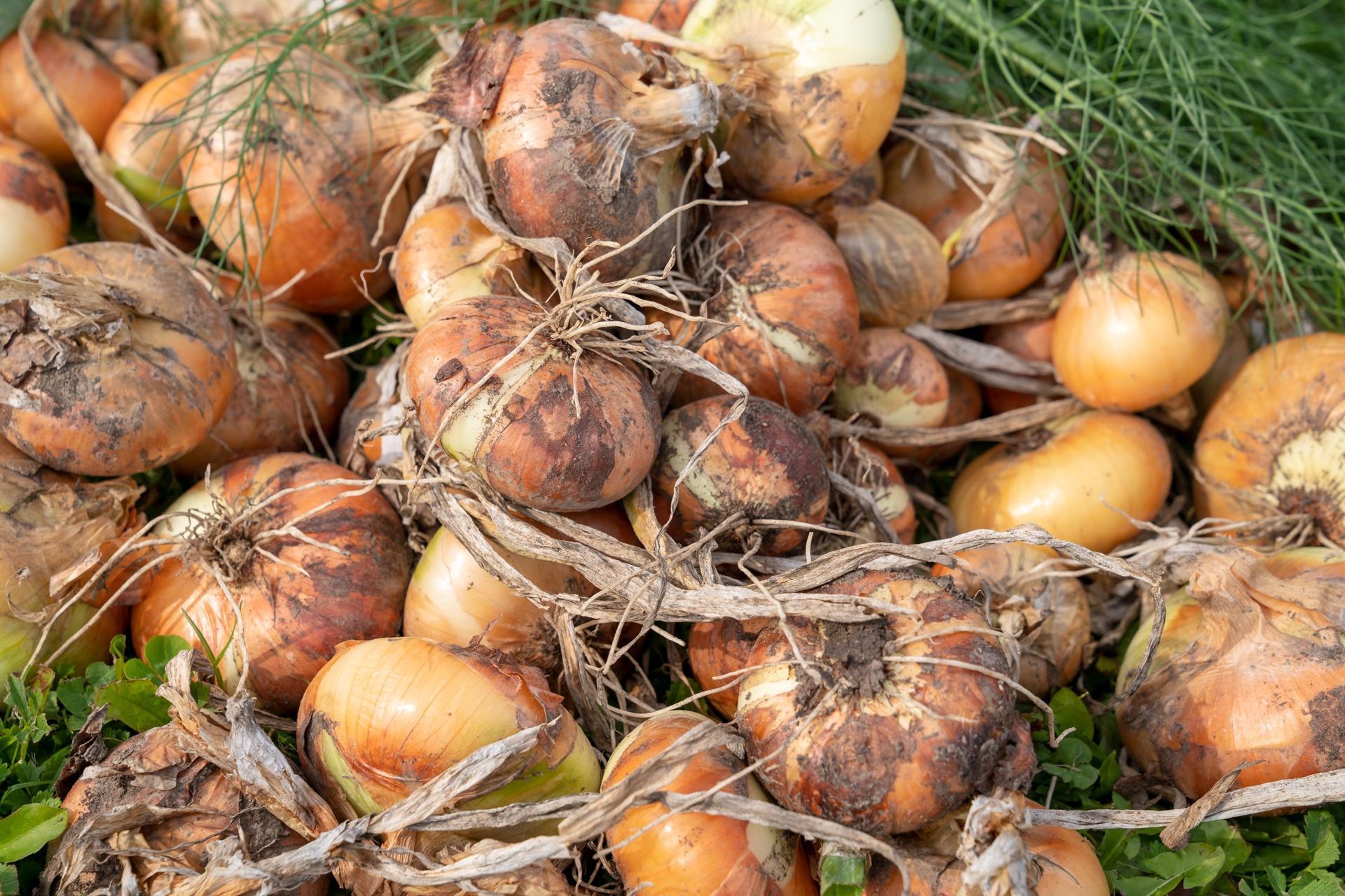 Zwiebel Ernte im Schaugarten der Gärtnerei Schunke