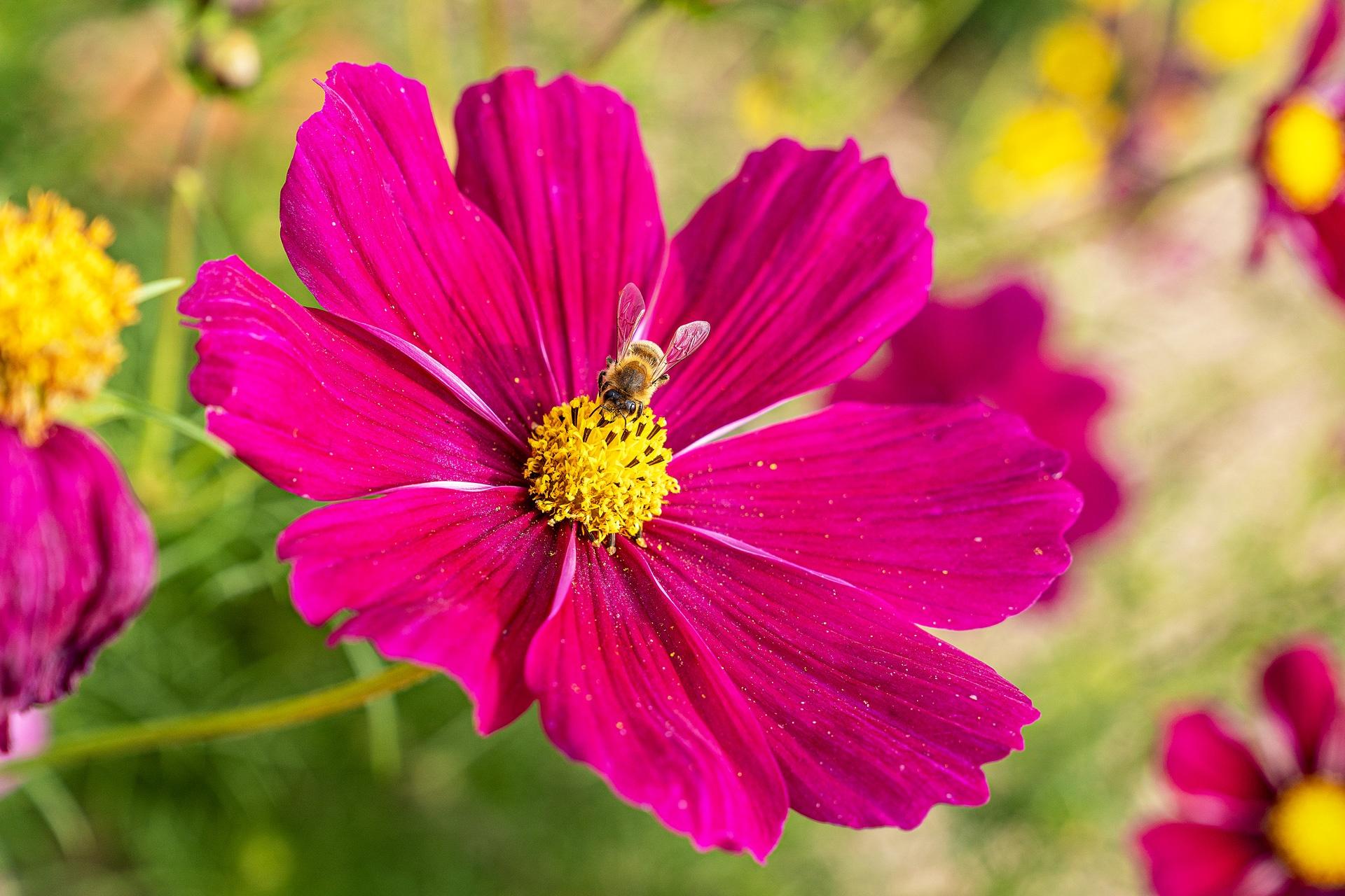 Gärtnerei Schunke – Cosmea Pink Mit Biene