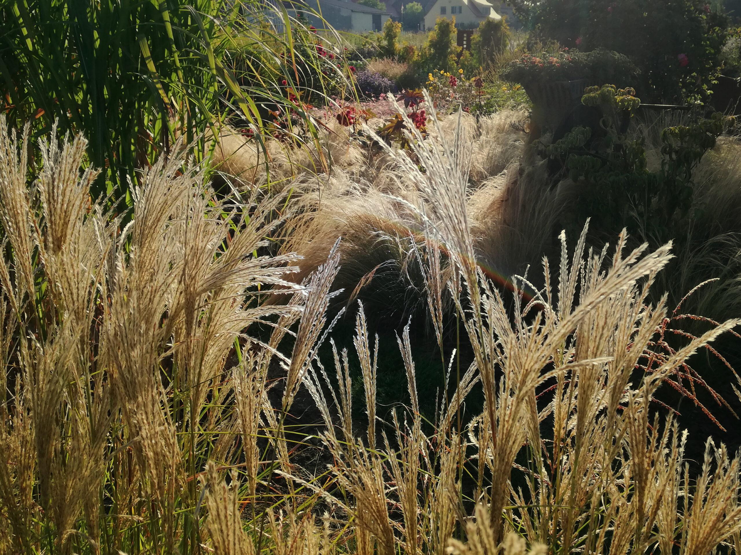 Blühende Gräser für Garten