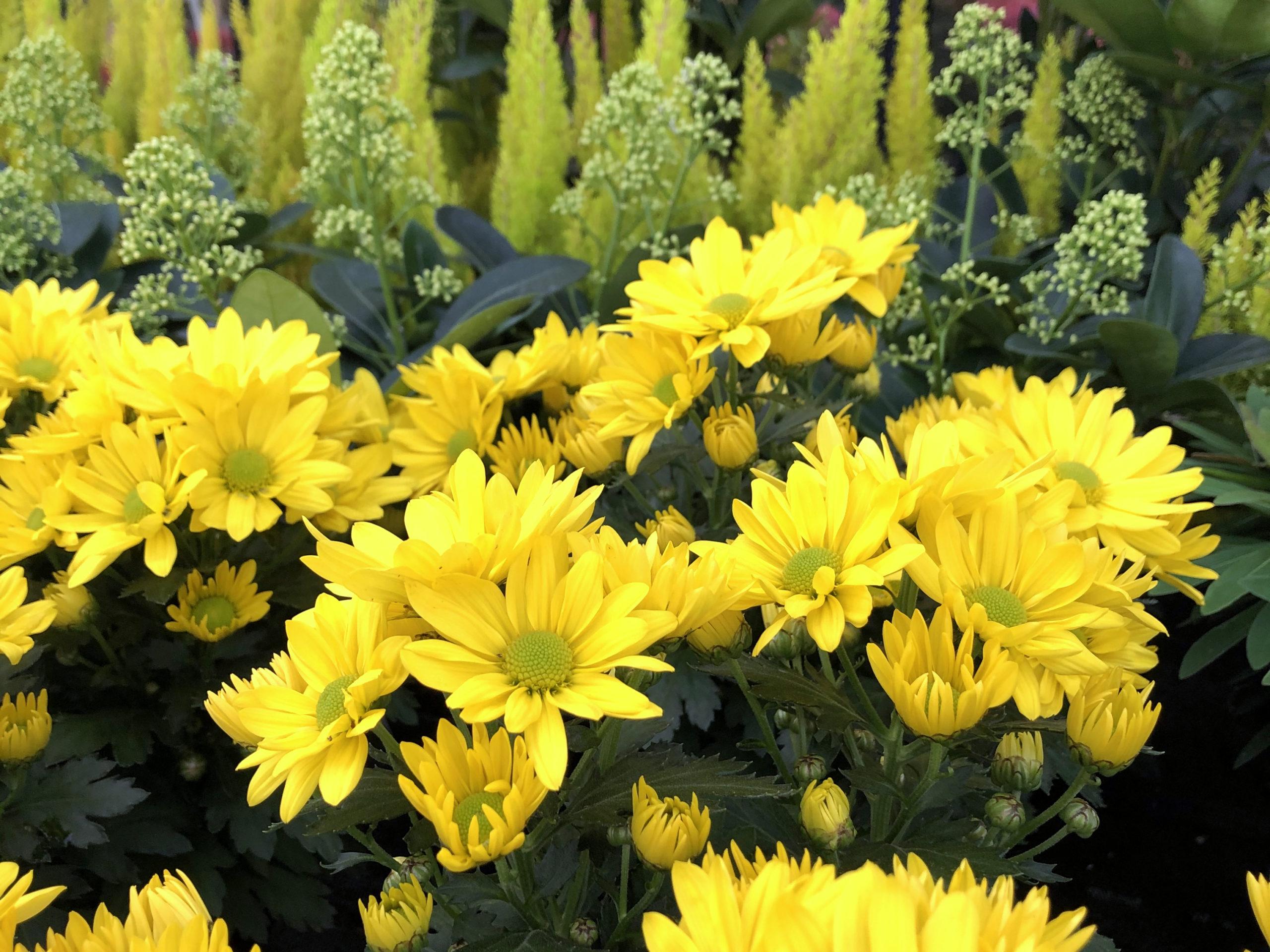 Chrysanthemen Und Herbstpflanzen