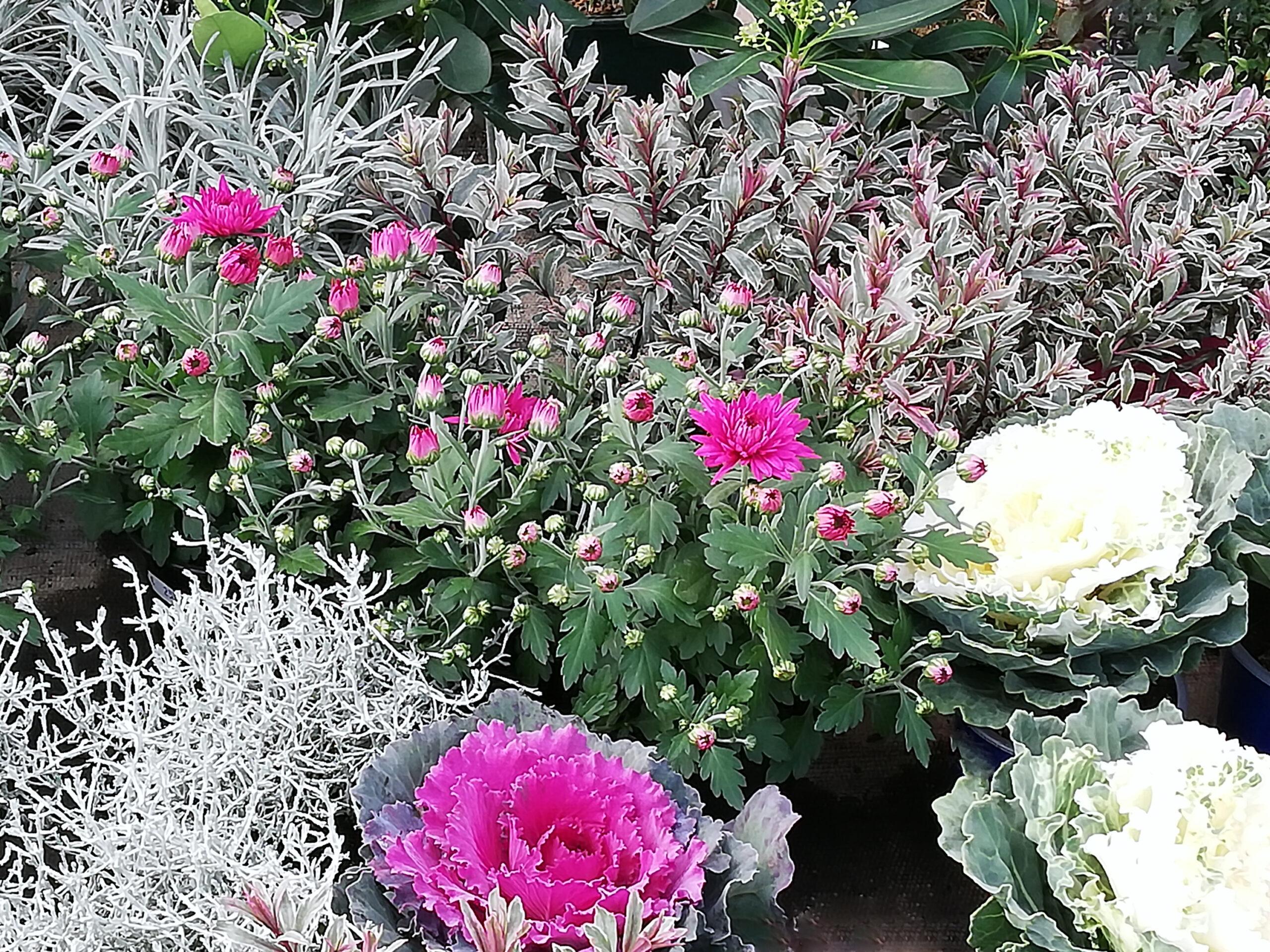 Chrysanthemen und Zierkohl für Winter Bepflanzung