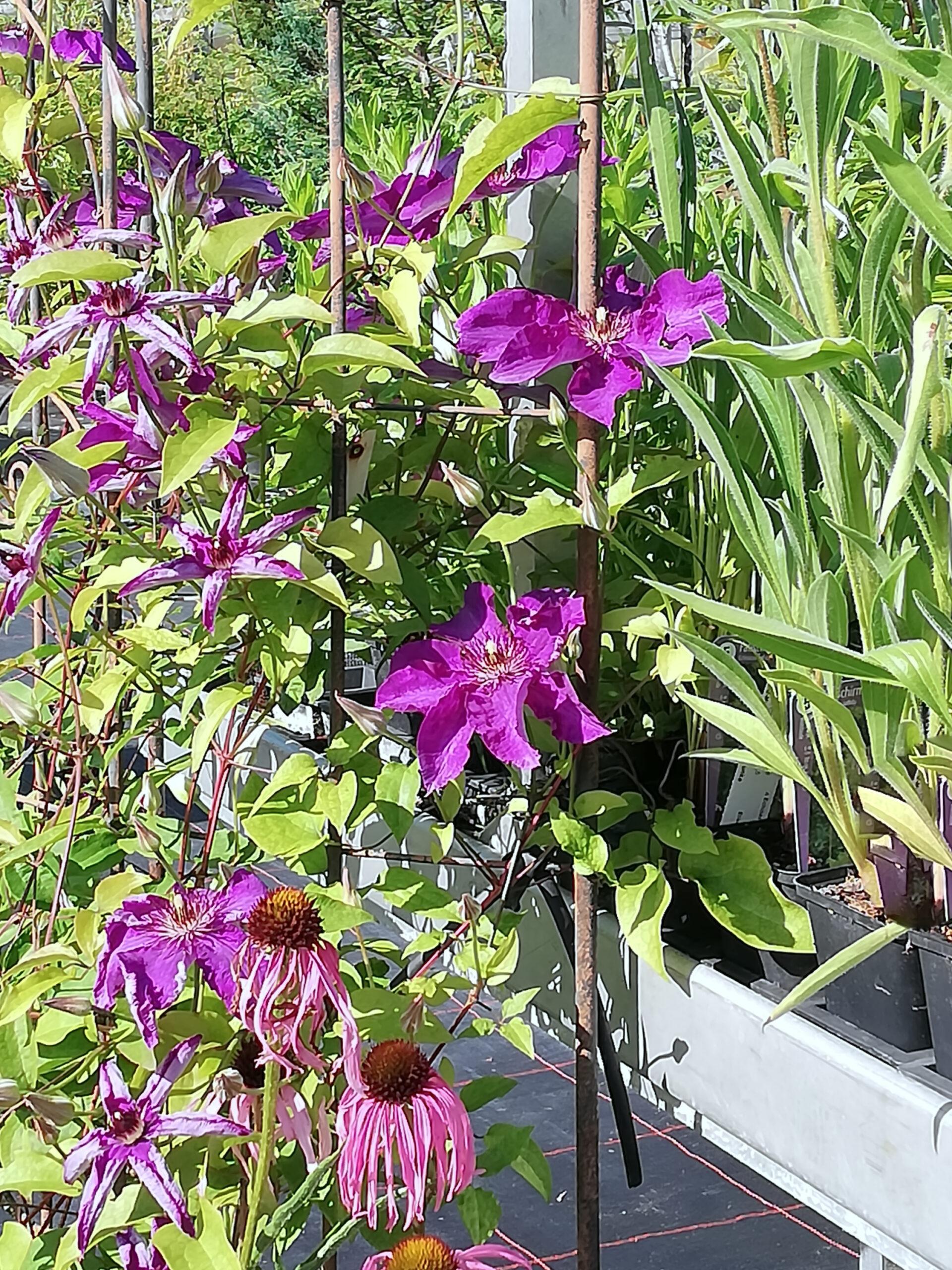 Clematis Kletterpflanze violett