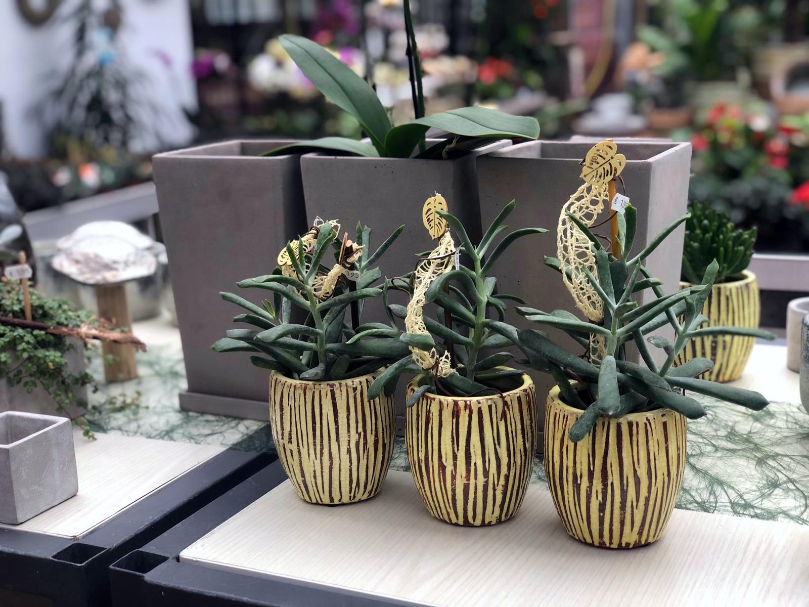 Dekorierte Zimmerpflanzen Als Geschenk