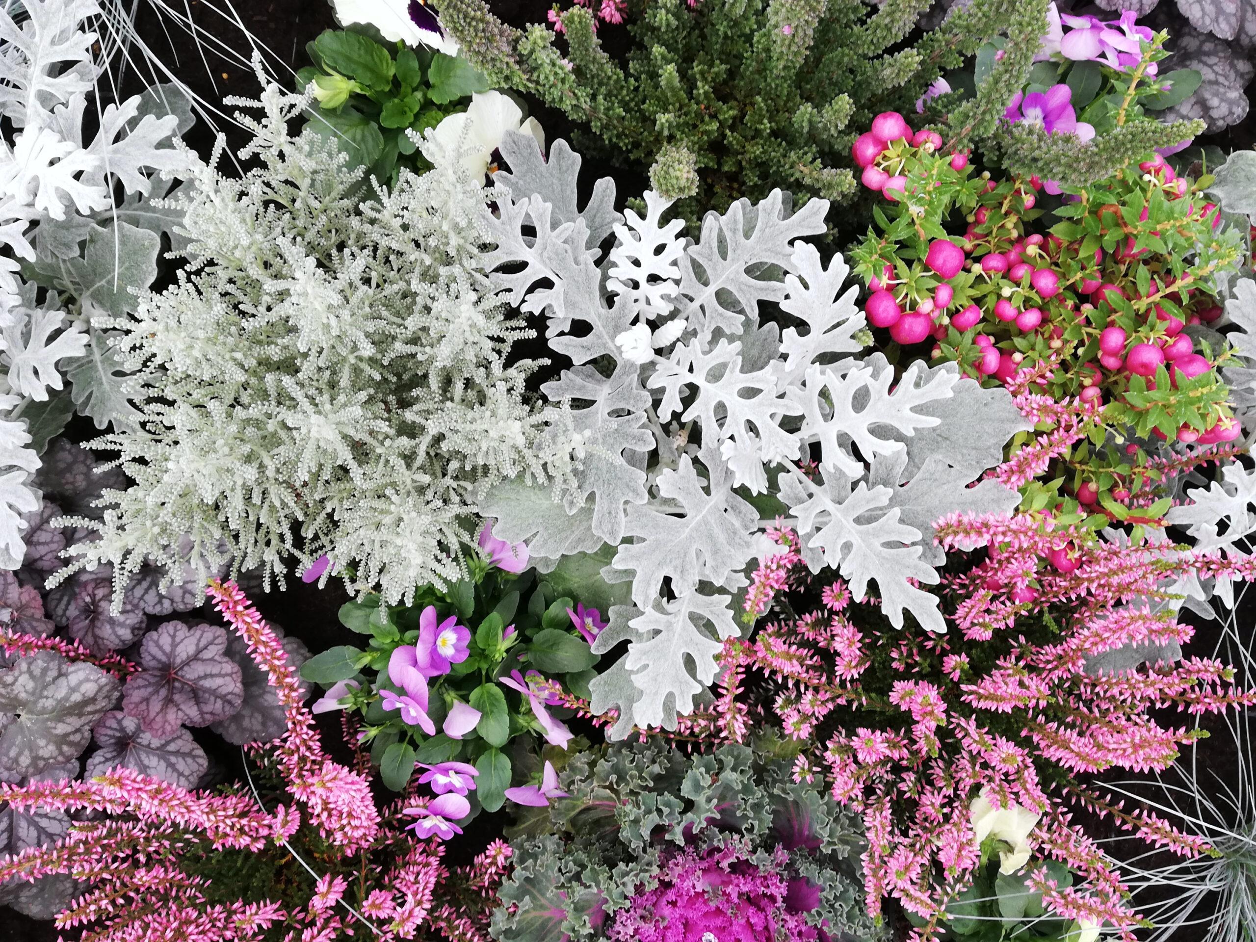 herbstliche Pflanzung mit Calluna und Cineraria