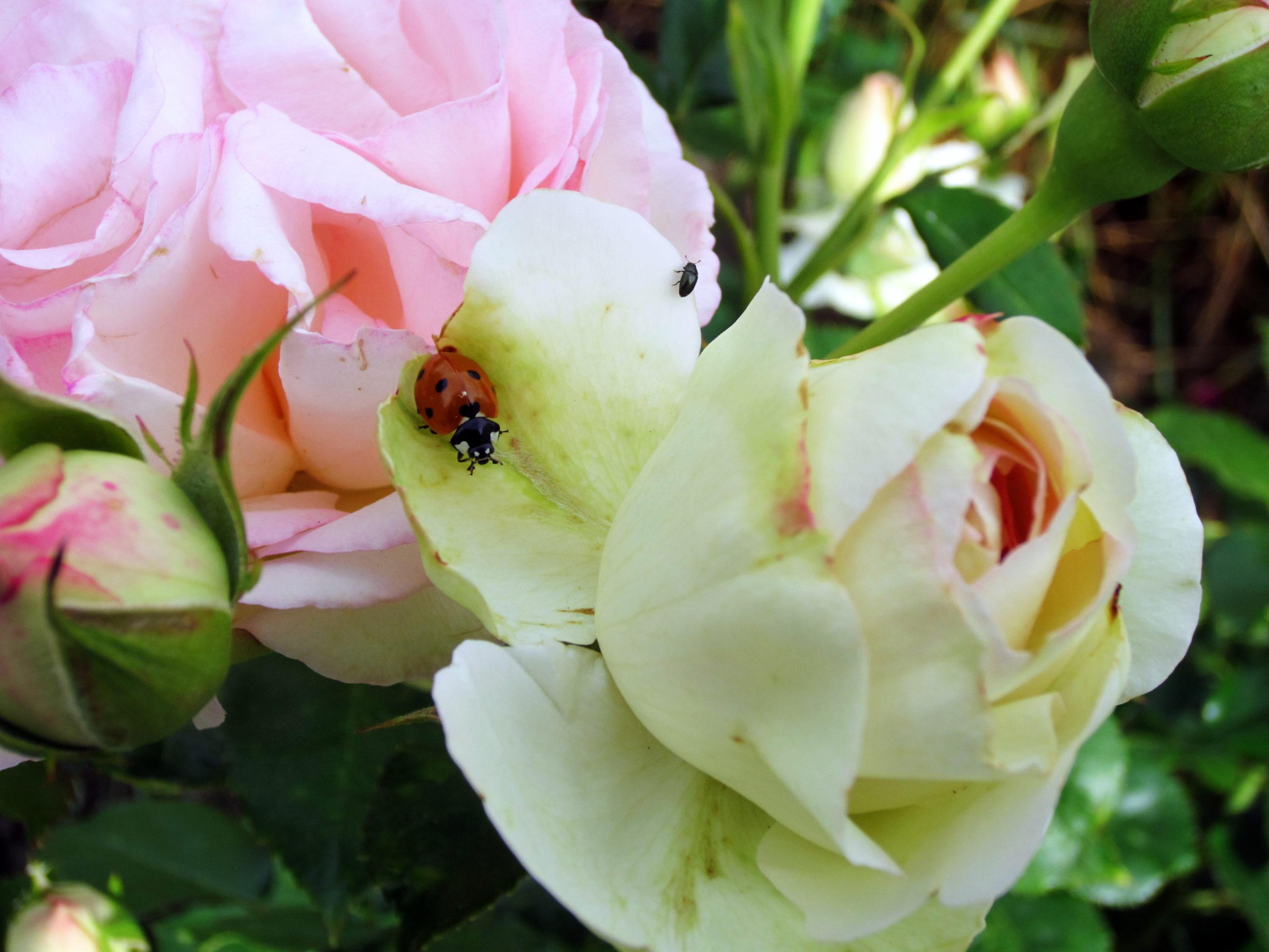 Marienkäfer In Der Rosenblüte