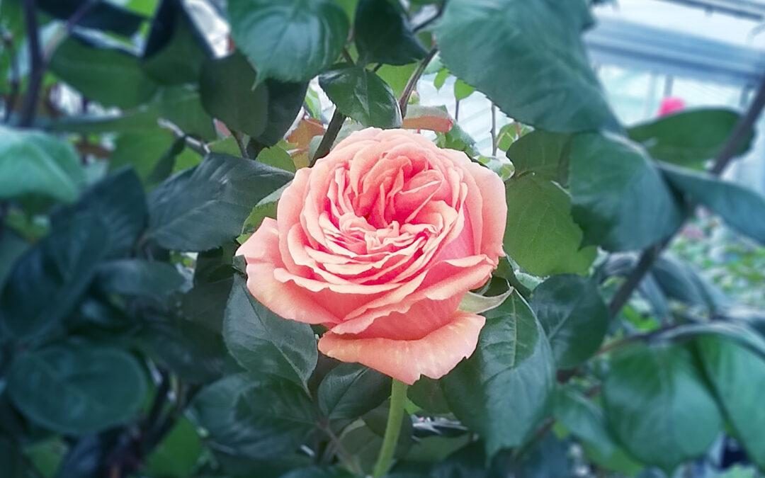 Rosen: Schönheit pur