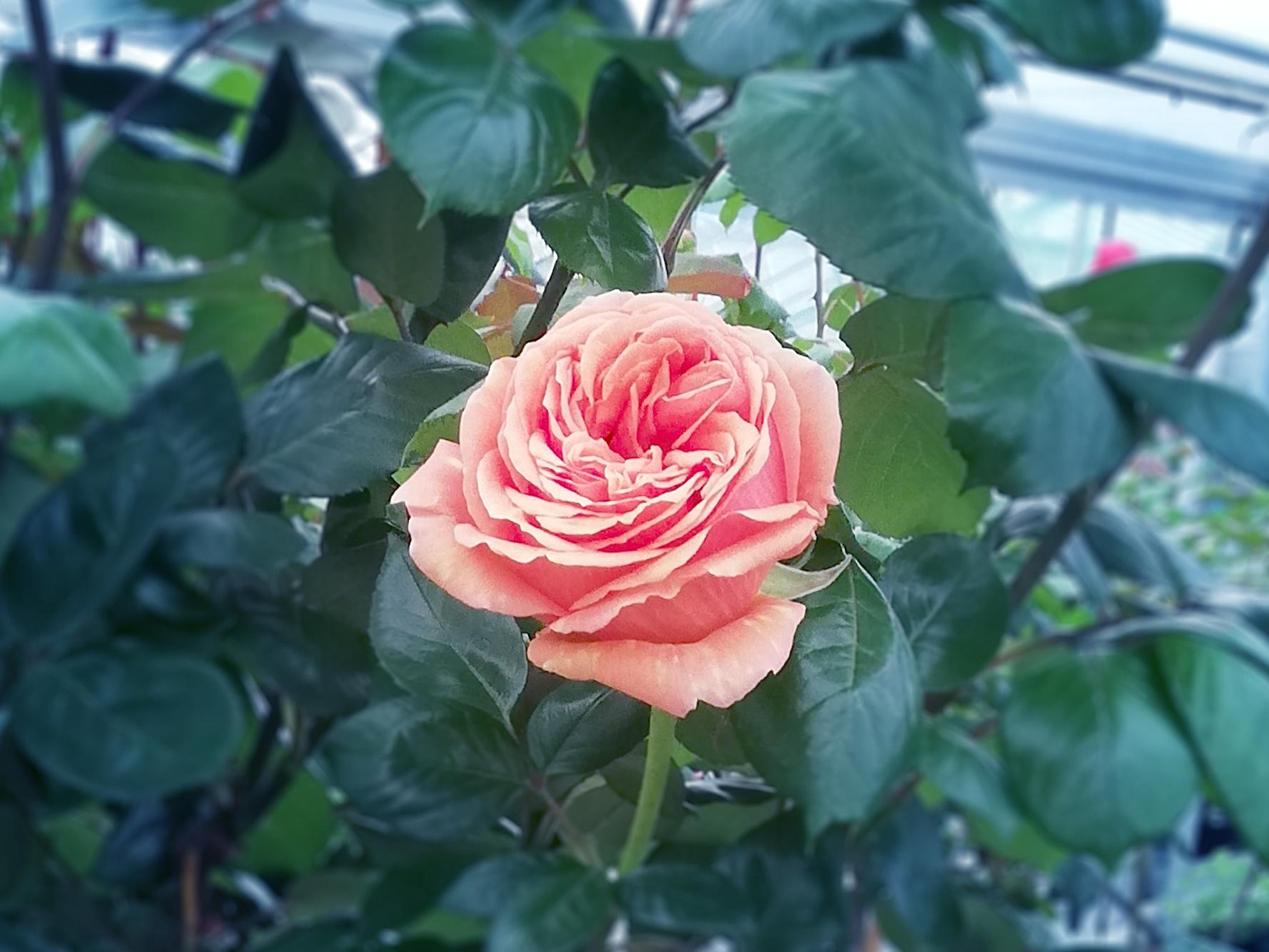 orange Rose aus der Gärtnerei Schunke