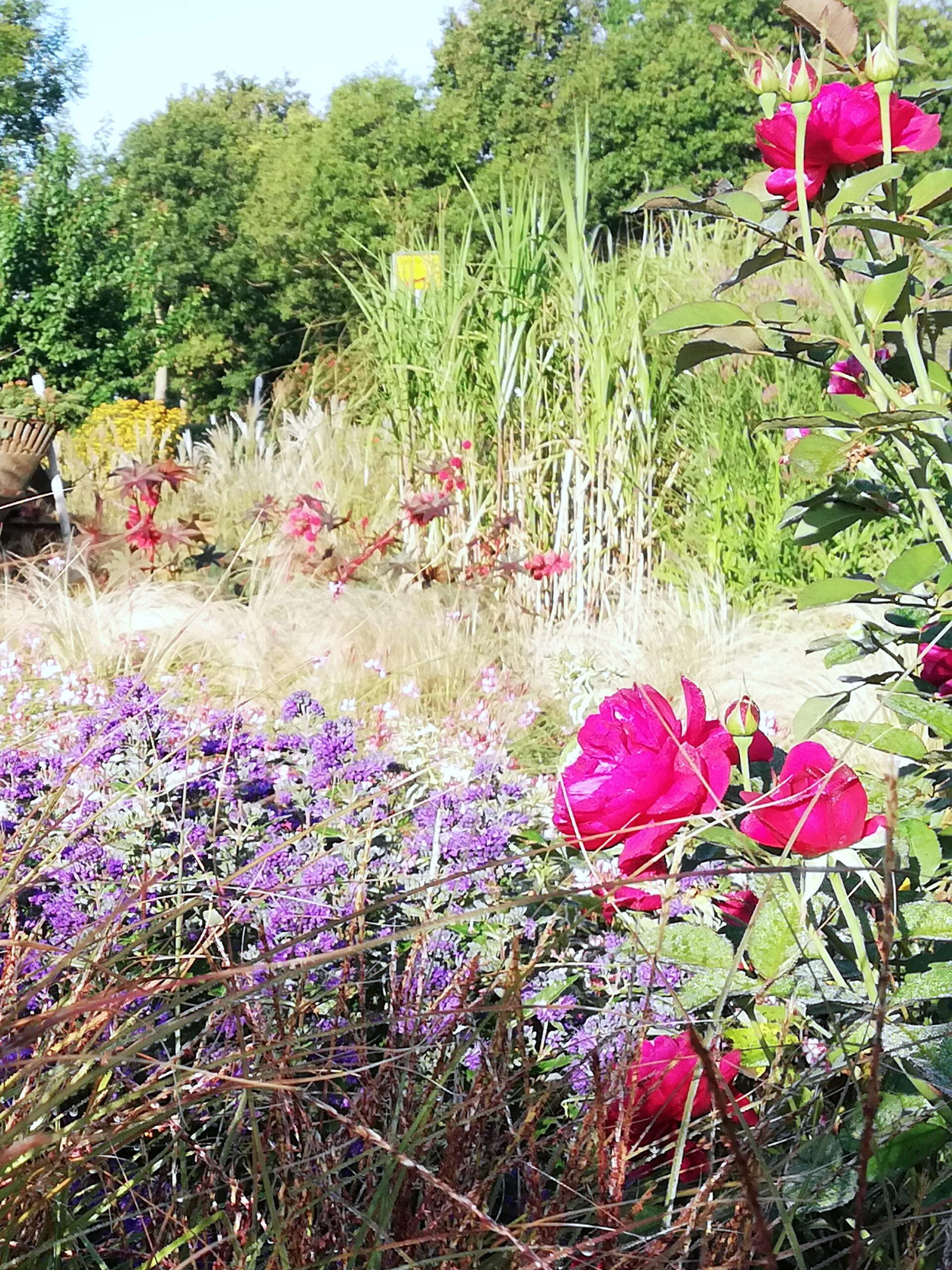 Rosen und Stauden und Gräser