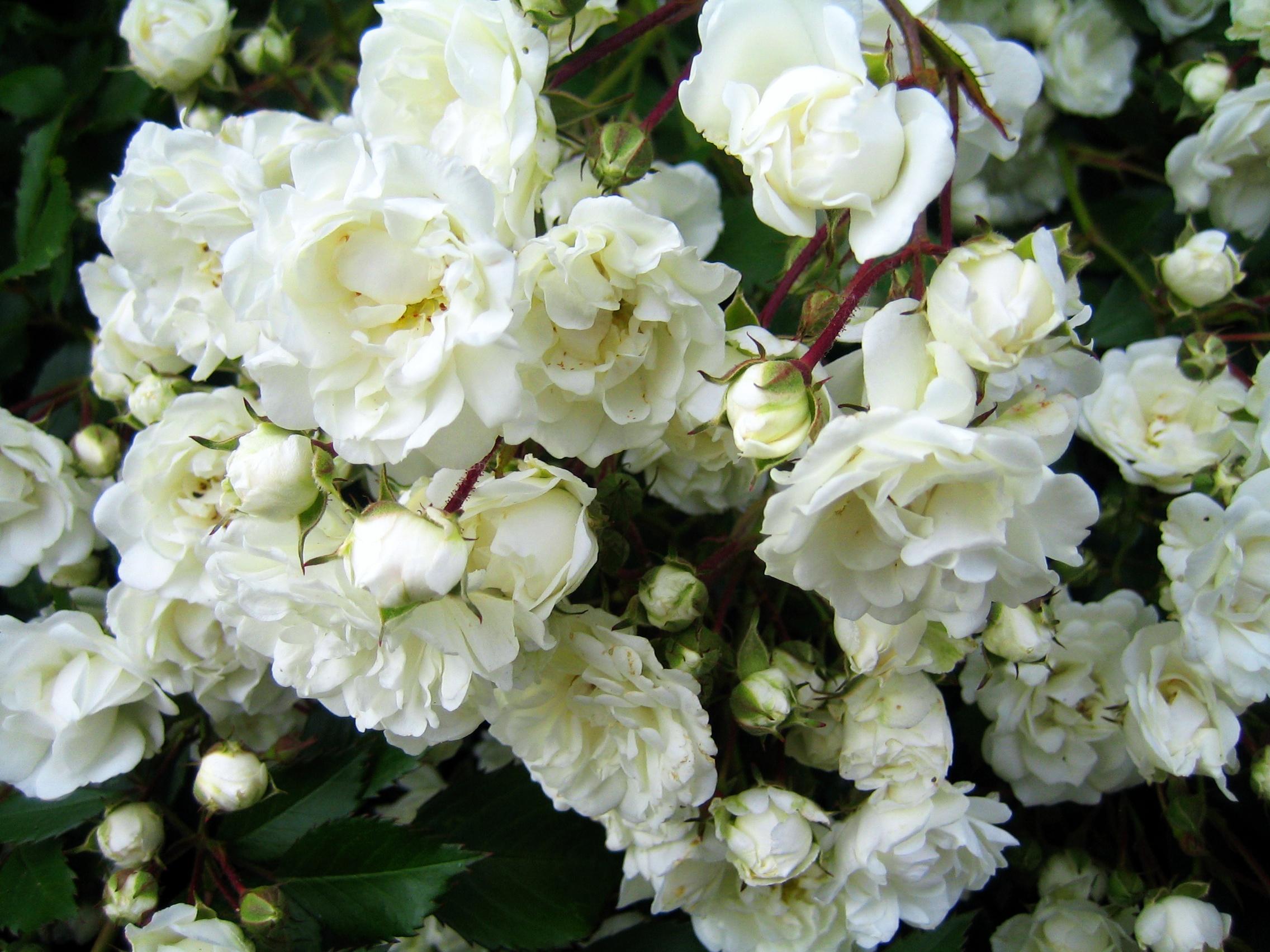 Rosenblüten Weiß