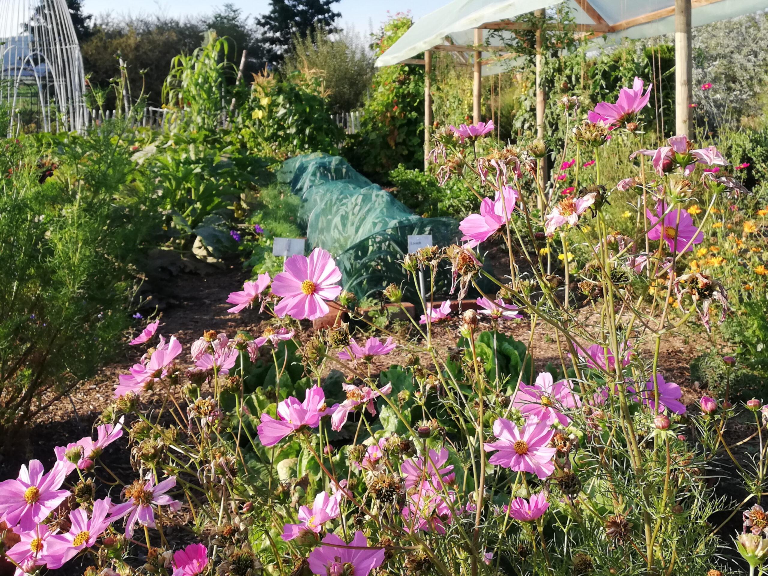Schmuckkörbchen Cosmea im Garten