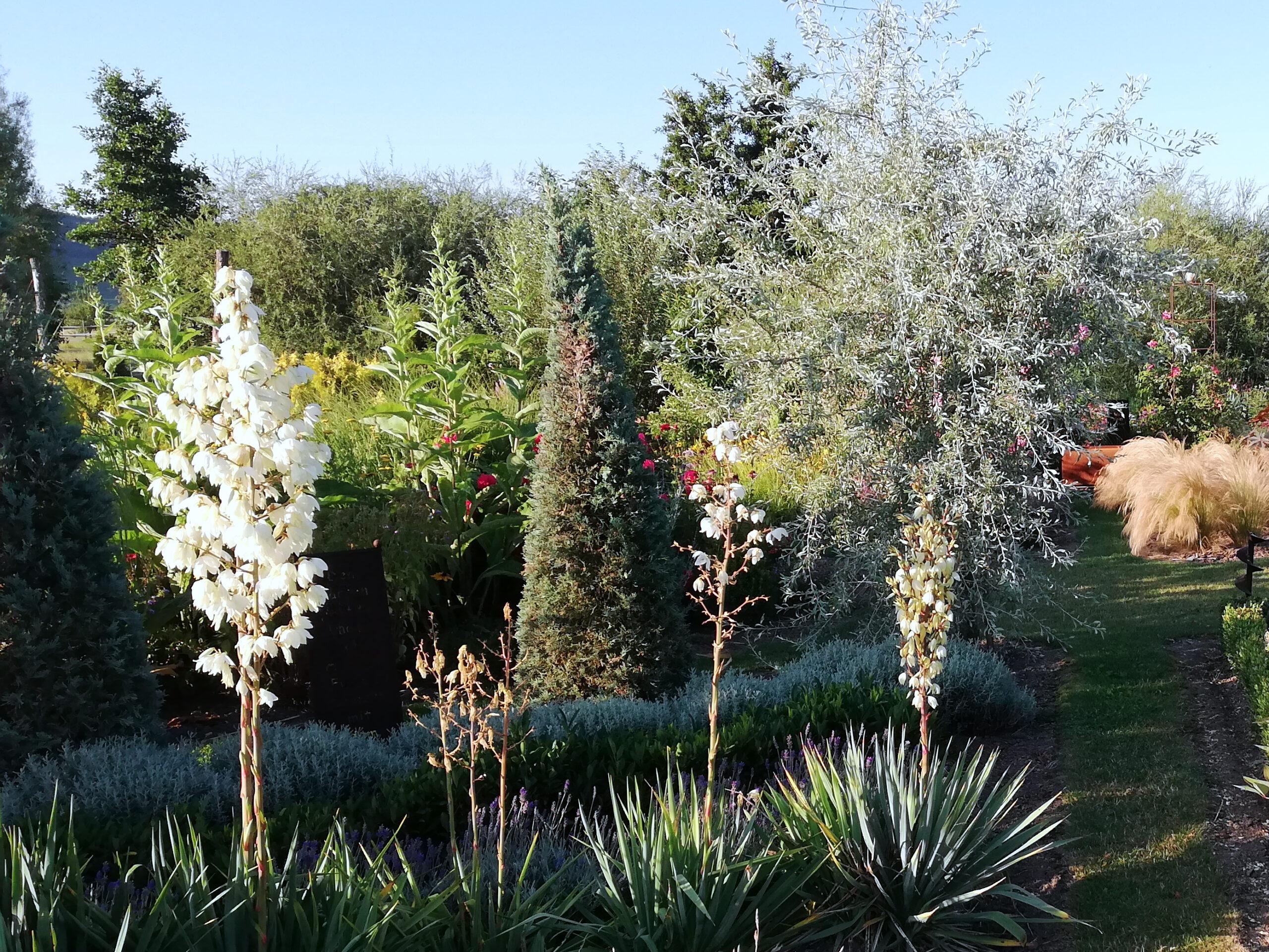 Yucca blüht weiß im Garten in Franken